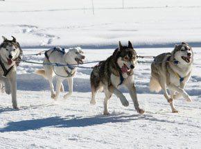Катание на собачьих упряжкахПодарочные сертификаты<br>Преподнести в подарок гонки, да еще и на собачьих упряжках?! Даже для Чукотки подобные забавы уже экзотика, а для средней полосы – это нечто из ряда вон! Здесь все подчинено азарту! Даже собаки заражены им: в нетерпении переминаются с ноги на ногу и ждут команды, чтобы рвануть нарты вперед! Управлять такой упряжкой – искусство, но когда все получается как надо – восторг необыкновенный, а победа в гонке станет самым желанным призом.<br>