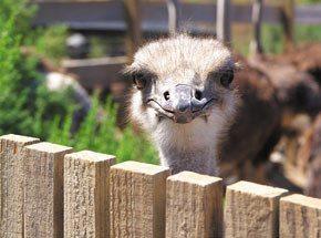 Экскурсия на страусиную ферму для двоих - Подарочный сертификат от P.S.BOX